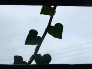 Heart ivy